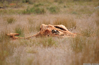 Photo: Giraffe carcass, Mokala National Park. We saw only two Giraffe the whole weekend - this was one of them. It apparently died of old age.