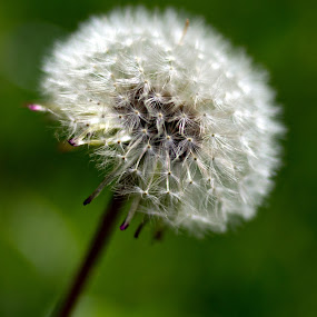 by Darko Kovac - Nature Up Close Flowers - 2011-2013 ( macro, nature, dandelion, green, blow, close up, flower,  )
