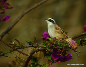 Photo: Stripe-headed Sparrow; Rancho Primavera, near Tuito, Jalisco