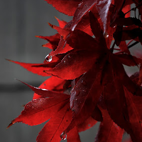Red Rain Drop  by Ellason Boyle - Nature Up Close Leaves & Grasses ( colour, red, drop, leaves, rain )