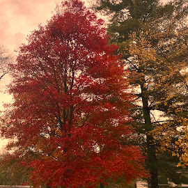 Fall Colors  by Debra Summers - Nature Up Close Trees & Bushes ( sky, clouds, trees )