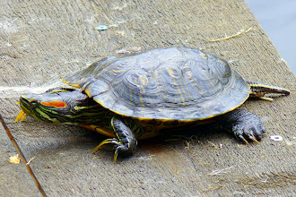 Photo: The Red-eared Slider Turtle is an introduced species to BC.