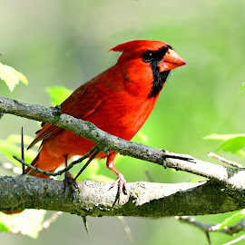 Cardinal by Ruth Overmyer - Animals Birds (  )