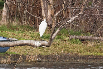 Photo: Great Egret Virginia Lake NL (id only)