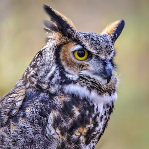 Great-horned owl-1-2.jpg