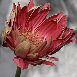 Gerbera by Millieanne T - Flowers Single Flower