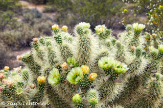 "Photo: ""Teddy Bear Cholla""  Saija Lehtonen Photography  #Cholla #Cactus #Arizona #Southwest #Nature #Photography #Floral"
