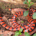 Coral Cylinder Snake