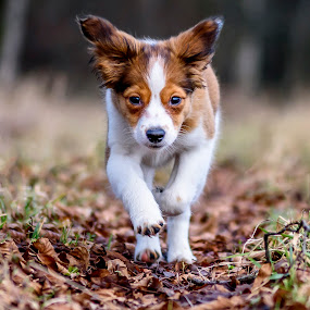 Determination by Colin Harley - Animals - Dogs Running ( foot, d750, pup, nikkor, feet, puppy, nikon, dog, nose, bokeh, eyes )
