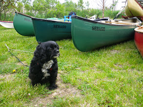 Photo: Lucy on the lookout - Dennis left her tied to the canoes for a couple of minutes and she's keeping a sharp watch for his return.