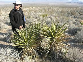 Photo: Yucca schidigera
