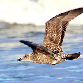 Snazzy in Brown by Ruby Stephens - Animals Birds ( seagull, blue, white, brown, black, bird in flight )