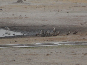 Photo: Vultures eating the dead baby elephant :(