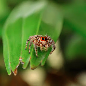 Jumping Spider by Trisviadi Effendi - Animals Insects & Spiders ( v1, macro, spider )