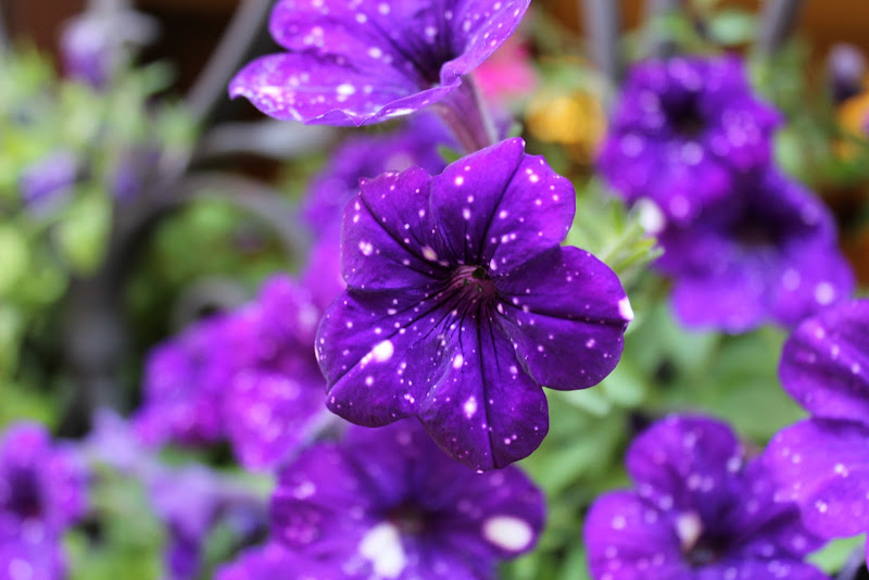 Pois in fiore di Angy18
