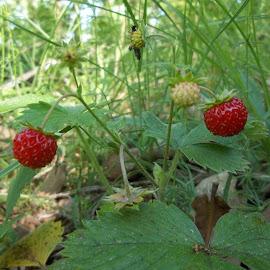 Ягоди by Georgi Kolev - Food & Drink Fruits & Vegetables ( треви., слънце., гора., ягоди., листа. )