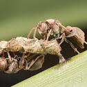 Native Paper Wasp