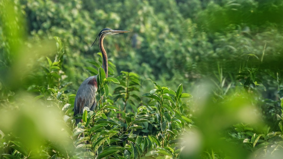 India. Kerala Motorbike Road Trip. Purple Heron, Kumarakom Bird Sanctuary
