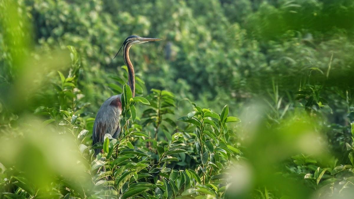 India. Kerala Motorbike Road Trip. Purple Heron, Kumarakom Bird Sanctuary