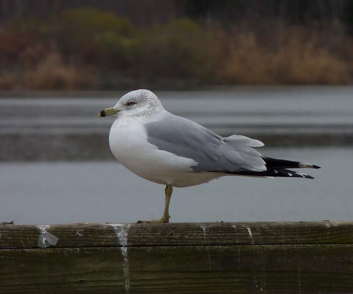 Photo: Ring-billed Gull at Edison Boat Basin