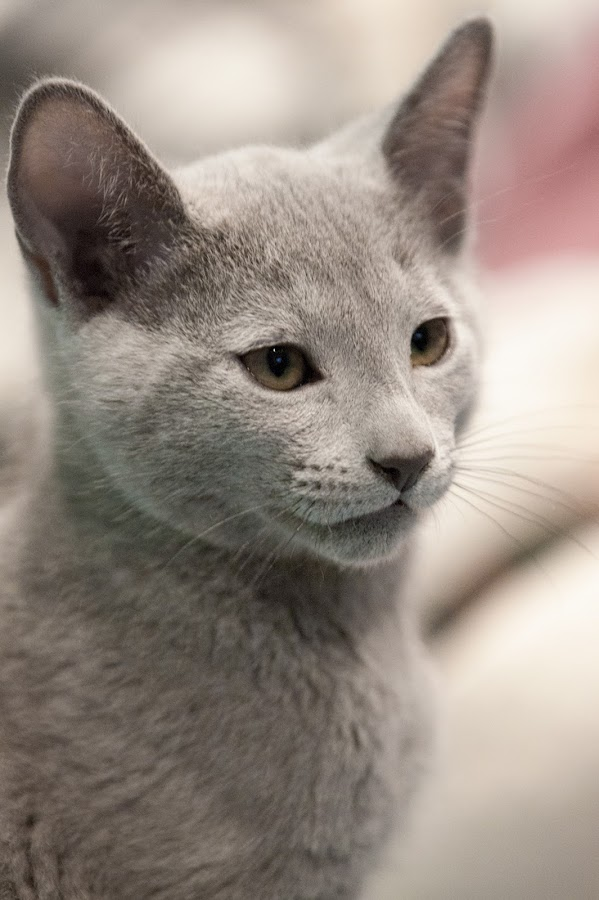 Kitten's portrait by Aleksander Cierpisz - Animals - Cats Portraits ( face, kitten, cat, pedigree, bokeh, portrait, fullface, high key, russian blue, cover, russian, full, purebreed, blue, rus, high, light, key, profile,  )