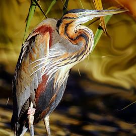 Grand héron pourpré by Gérard CHATENET - Animals Birds (  )