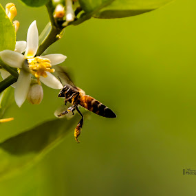 In serach of honey by Shovan Sam - Animals Insects & Spiders ( honey bee, blossom, canon )