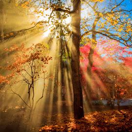Autumn Rays by Brandon Montrone - Landscapes Sunsets & Sunrises ( atmosphere, forest, landscape, sun, rays, nature, tree, autumn, fog, outdoor, trees, sunshine, autumn colors, landscapes, garden, light,  )