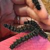 Mourning Cloak (caterpillars)