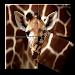 Giraffe Puzzle Game icon