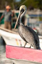 Photo: Brown Pelican (Braunpelikan); Rio Lagartos, YUC