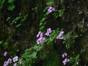 Photo: ユキワリソウも垂直の岩に