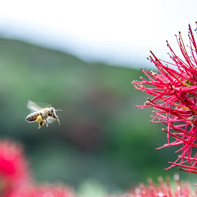 New Zealand Pohutakawa and bee by Sheena True - Nature Up Close Trees & Bushes ( pollen, red, bee, flower )