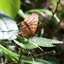 Banded mapwing