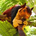 Indian giant squirrel / மலை அணில்