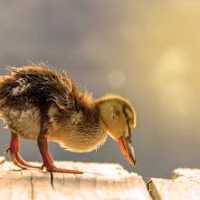 cute duckling in lake by Grigor  Ivanov - Animals Other Mammals ( born, nobody, birth, concept, wildlife, little, yellow, beauty, cute, pretty, feather, spring, farm, life, nature, pets, duck, lovely, fur, baby, bunch, gold, closeup, animal, wild, animals, wing, duckling, april, beautiful, lake, young, newborn, bird, sweet, fluffy, season, pet, outdoor, background, outdoors, beak, puppy, small, natural, river )