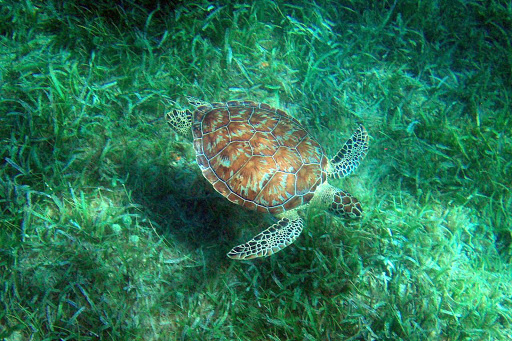 A sea turtle at Tamarindo Beach on Isla de Culebra in Puerto Rico.
