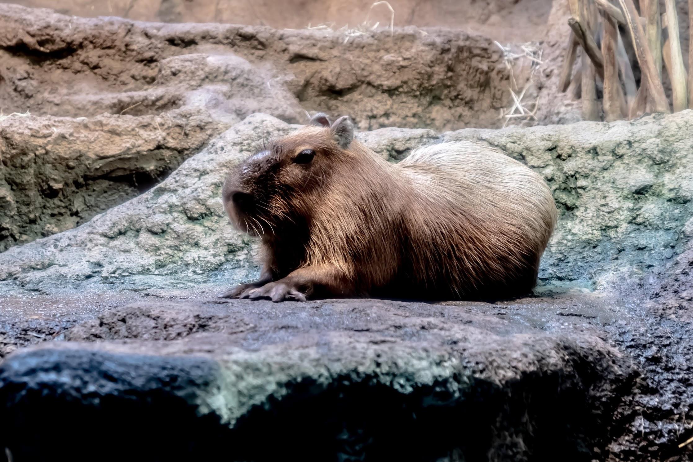 Osaka Aquarium KAIYUKAN Capibara