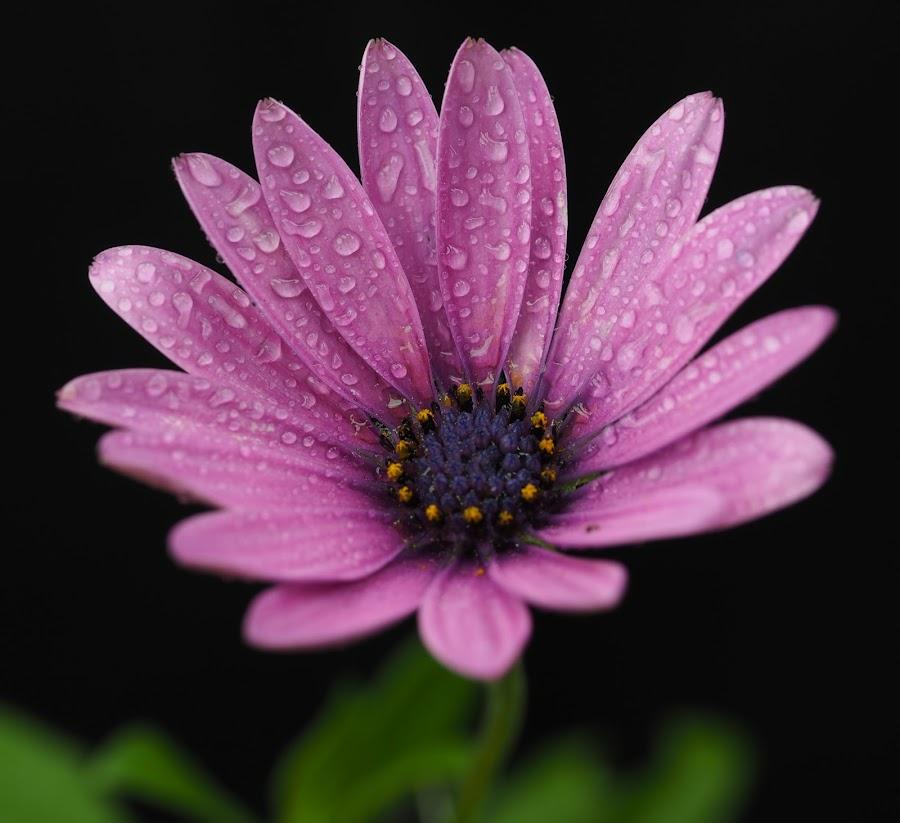 A Memory of Purple by Gillian James - Flowers Single Flower ( water drops, osteospermum, purple, daisy, close up, flower )