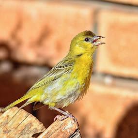 Weaver by Hannes van Rooyen - Animals Birds