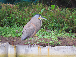 Photo: Bare-throated Tiger-heron