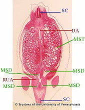 Photo: Nervous System (blue labels): SC - Spinal Cord  Circulatory System (red labels): DA - Descending Aorta RUA - Right Umbilical Artery  Urogenital System (green labels): MSD - Mesonephric Duct MST - Mesonephric Tubules