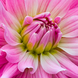 by Jim Jones - Flowers Single Flower ( floral, flowers, nature, nature up close, colorful, flower )