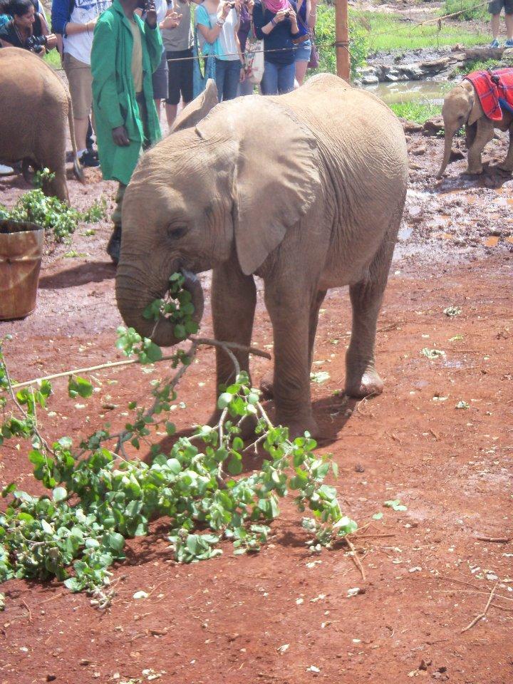 African Savanna (Bush) Elephant