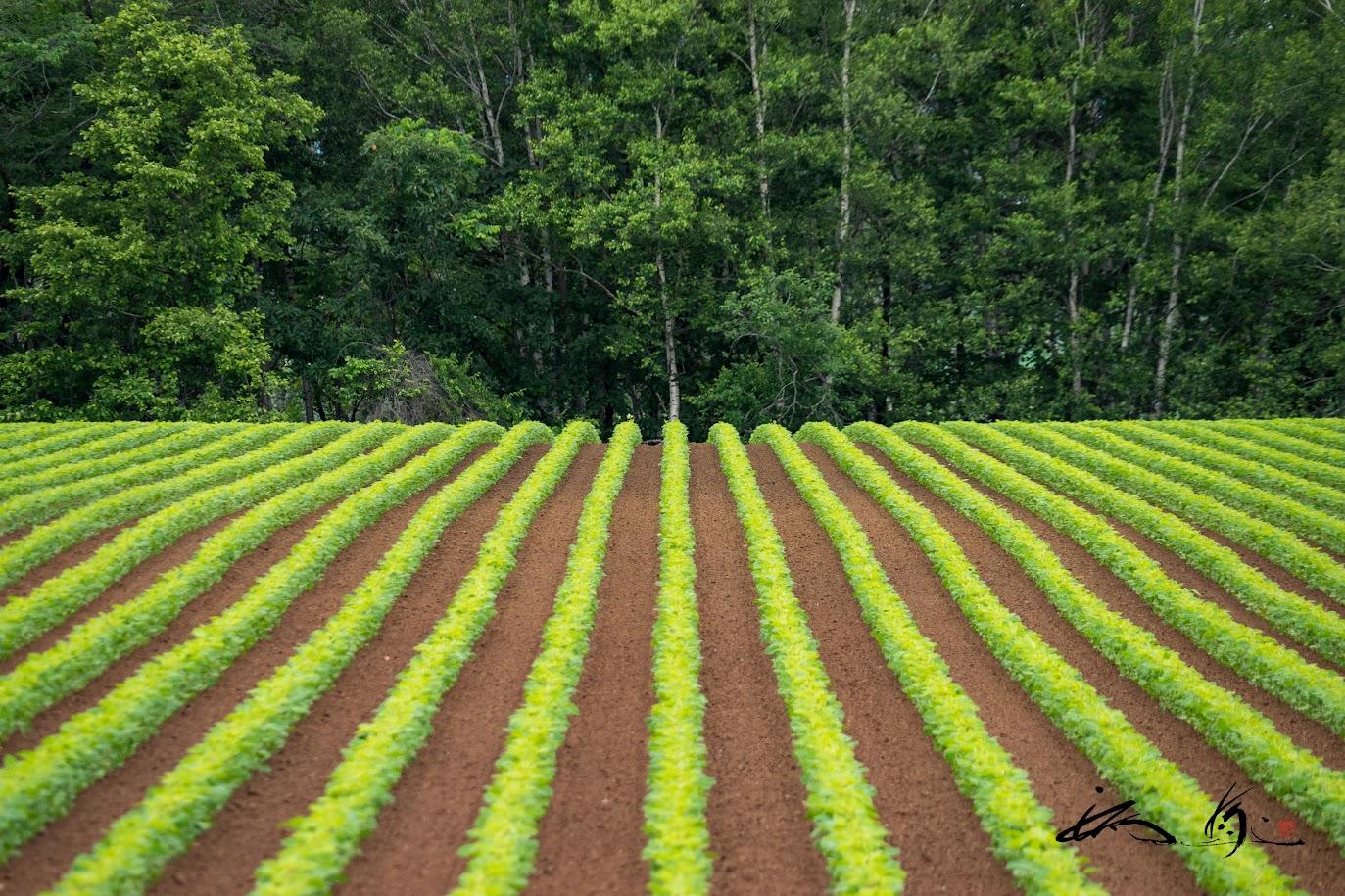 這うように続く緑の苗