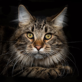 Wild by Vicki Roebuck - Animals - Cats Portraits ( canon, studio, wild, cat, stare, 50mm, intense, beauty, portrait, photography, eyes, lighting, vickiroebuckphotography, primelens, maine coon, animal )