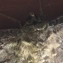 Mariposa nocturna/ BWM or Moneybat moth