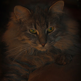 by Jim Antonicello - Animals - Cats Portraits