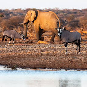 Golden hour photography by Ada Louw - Animals Other (  )
