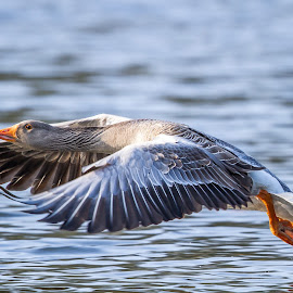Greylag goose in flight by Edwin Godinho - Uncategorized All Uncategorized ( greylag goose, uk, goose flying, anser anser, surrey,  )